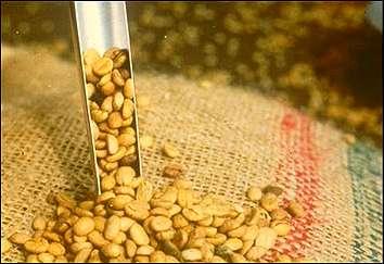 clasificacion del cafe